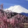 cherry blossom-viewing season
