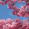 cherry blossom flavor