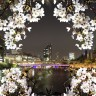 night viewing of cherry blossoms