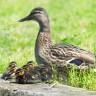 Ducks quack; they go,
