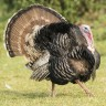 Turkeys gobble; they go,
